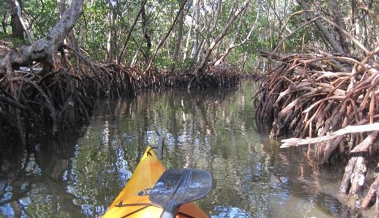 Sarasota Kayaking Tours through mangrove tunnels, beaches, sandbars, estuaries and a whole lot more. If you want the best kayaking tours in Sarasota give us a call!